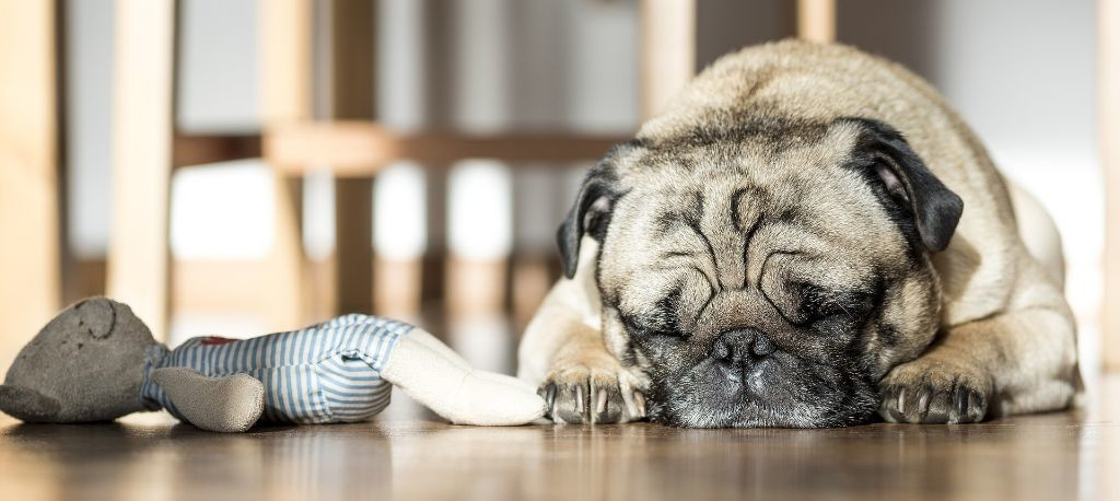 sleeping dog on a wooden floor next to their chew toy.